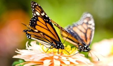 How to attract monarch butterflies to your garden